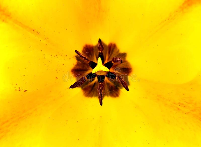 Top view of yellow tulip with pollen. Pretty blossom on a sunny day in the garden. royalty free stock image