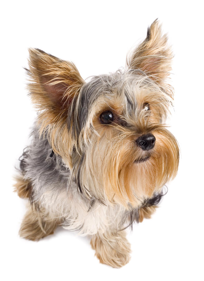 Download Top view of a yorkie stock image. Image of white, front - 15824475