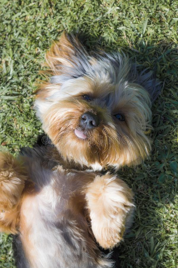 Top view of Yorshire Terrier puppy looking cute on lawn in a garden in Hout Bay, Cape Town. Yorkshire Terrier puppy playing in the garden stock photo