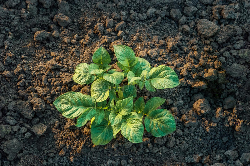 Download Top View Of A Young Potato Plant Growing Stock Image