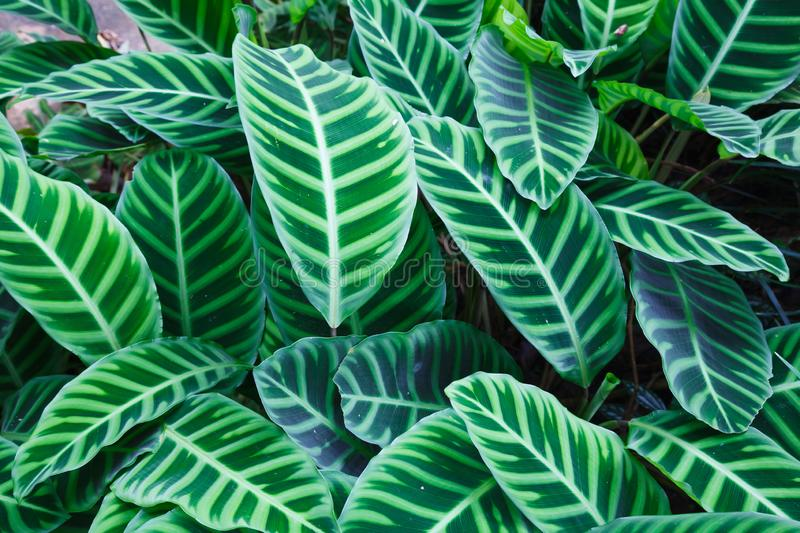Top View of Zebra Plant Calathea Zebrina tropical striped evergreen ornamental plant leaves foliage wallpaper background stock image