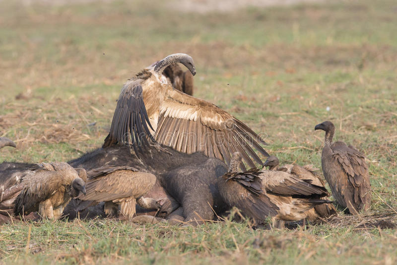Top Vulture over rest of flock. Vulture asserting dominance over rest of vultures stock photo