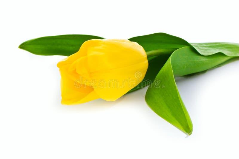 Download Topazowy tulipan obraz stock. Obraz złożonej z kwiecisty - 13332521