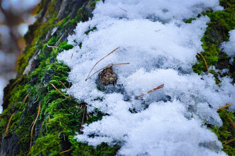 Topetón en la nieve fotografía de archivo