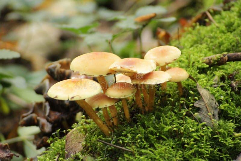 Topete do enxofre ou cogumelo aglomerado do woodlover na floresta durante o outono n o Schollenbos em Capelle Aan Den Ijssel imagens de stock royalty free