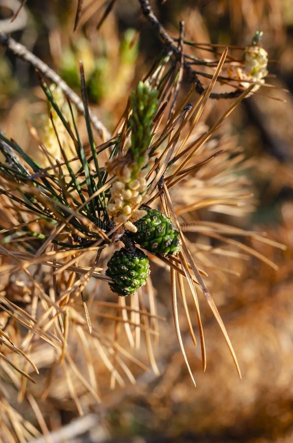 Topetones verdes jovenes en una rama marrón imagen de archivo