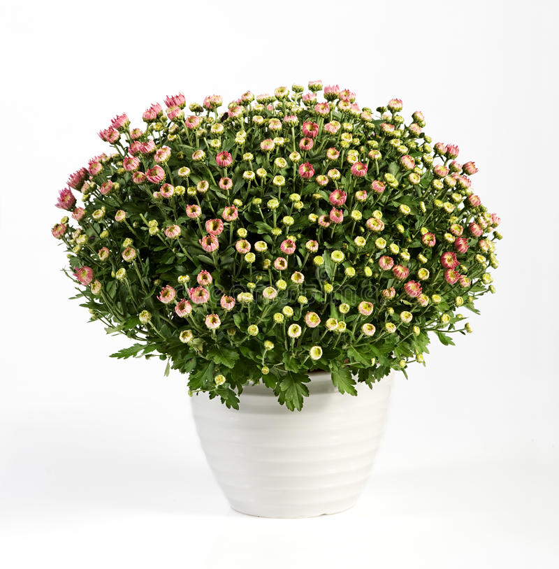 Topf blühende rosa Chrysanthemen lizenzfreies stockbild