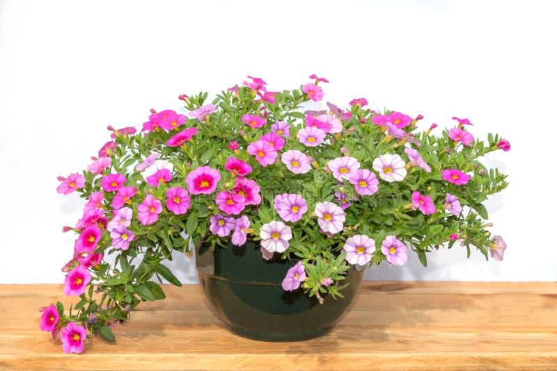 Topf der bunten rosa Petunie blüht auf einem Holztisch, lokalisiert auf Weiß lizenzfreies stockfoto