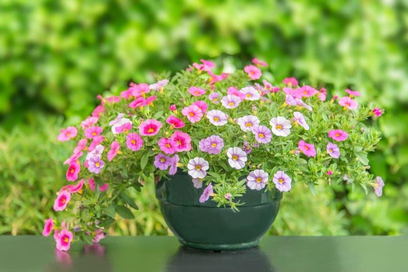 Topf der bunten rosa Petunie blüht auf einer Tabelle, grüner Naturhintergrund stockfotos