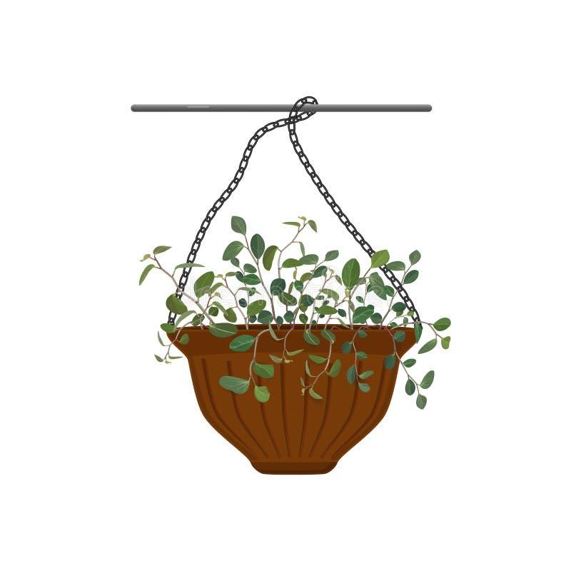 Topf, der mit eingemachtem Blumen Tradescantia lokalisiert auf weißem Hintergrund hängt lizenzfreie abbildung