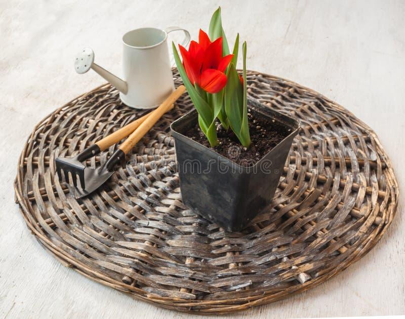 Topf mit blühenden botanischen Tulpen lizenzfreie stockfotografie