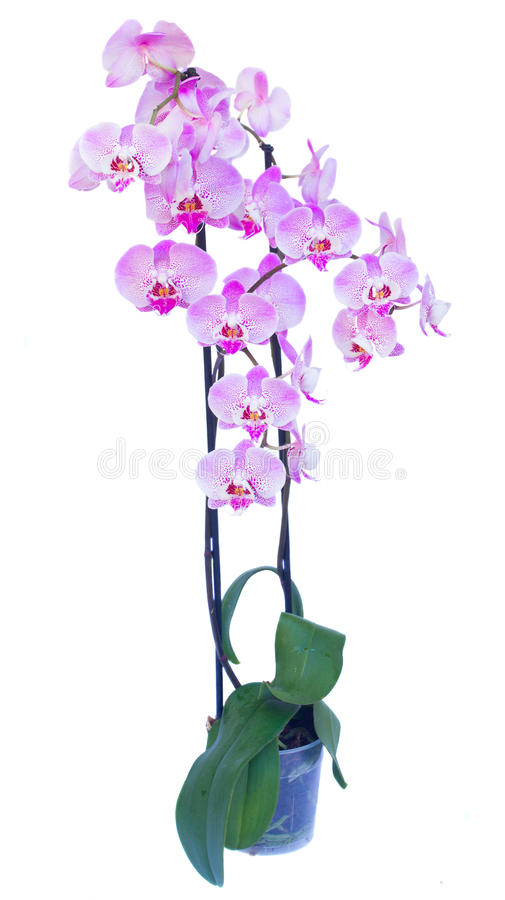 Topf mit rosa Orchideenniederlassung stockbilder