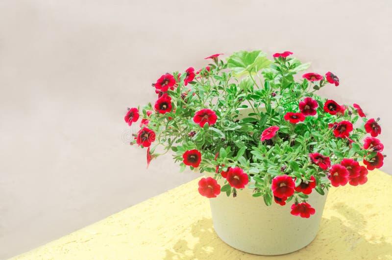 Topf mit rotem petunyami, schönem Frühling und Sommer blüht für das Haus, den Garten, den Balkon oder den Rasen, natürliche Tapet stockbild