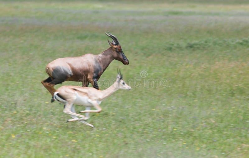Topi contra o gazelle da concessão imagem de stock