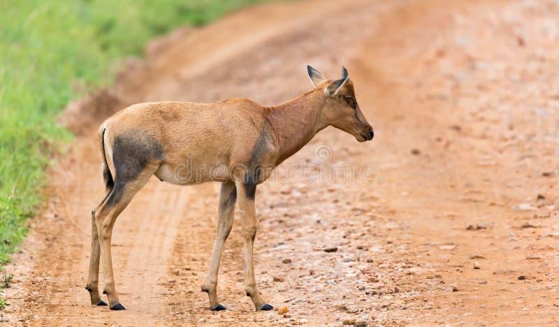 Topi Gazelle in the Kenyan savanna amidst a grassy landscape. A Topi Gazelle in the Kenyan savanna amidst a grassy landscape royalty free stock photography