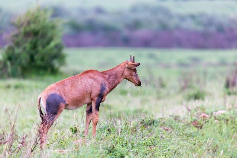 Topi Gazelle in the Kenyan savanna amidst a grassy landscape. A Topi Gazelle in the Kenyan savanna amidst a grassy landscape stock image