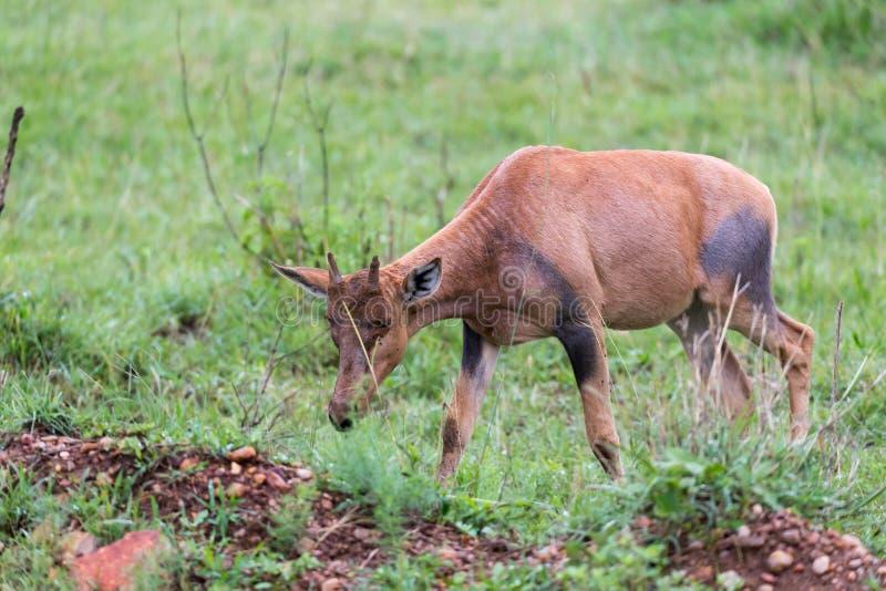 Topi Gazelle in the Kenyan savanna amidst a grassy landscape. A Topi Gazelle in the Kenyan savanna amidst a grassy landscape royalty free stock images