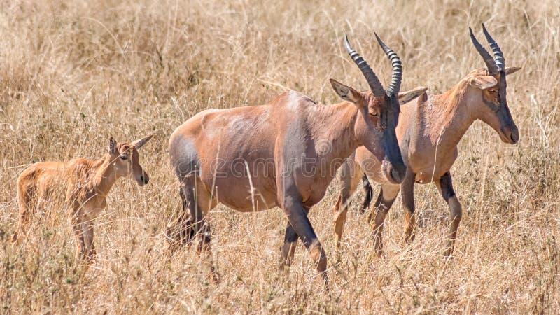 Topi, het Nationale Park van Serengeti, Tanzania, Afrika royalty-vrije stock foto