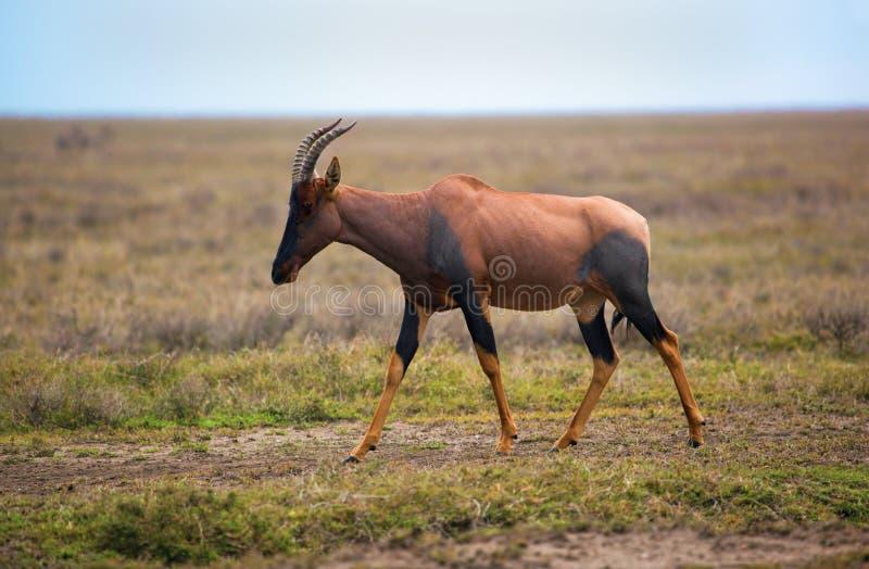 Topi op savanne in Serengeti, Afrika stock foto