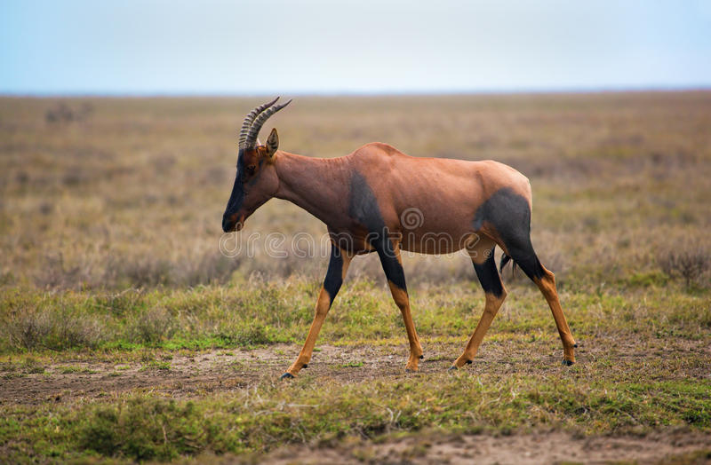 Download Topi On Savanna In Serengeti, Africa Stock Photo - Image: 28951150