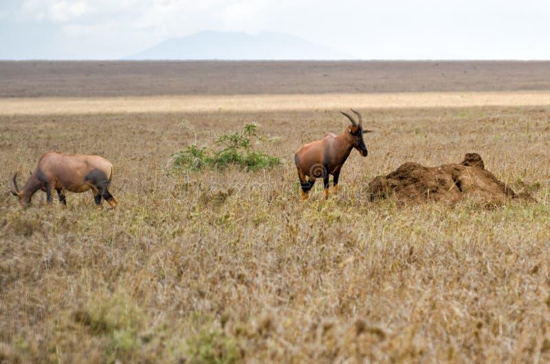 Topi, Serengeti stock afbeelding