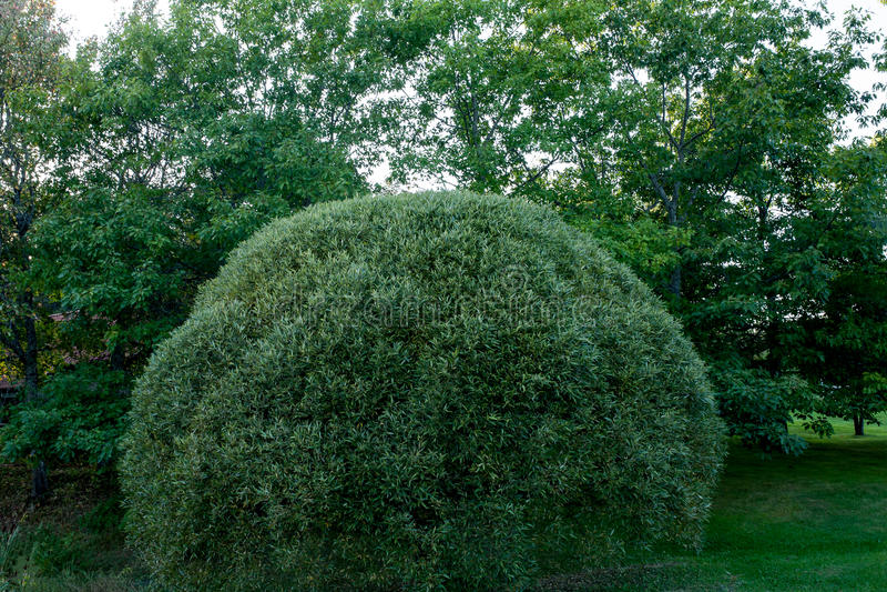 topiary Πράσινος θάμνος που τακτοποιείται στη στρογγυλή μορφή στοκ φωτογραφίες