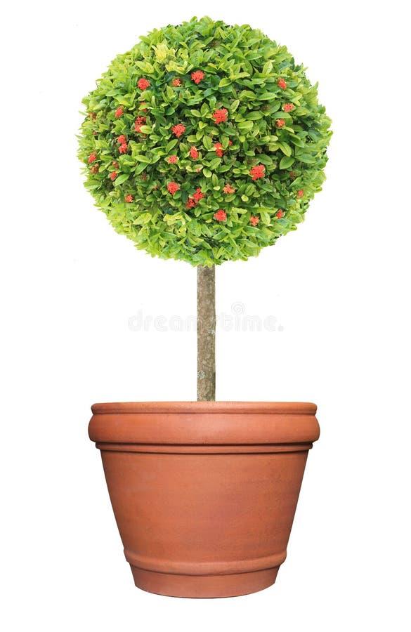 Topiary av den röda blommaIxora växten på behållaren för terrakottalerakruka som isoleras på vit bakgrund för formell europeisk s royaltyfri foto