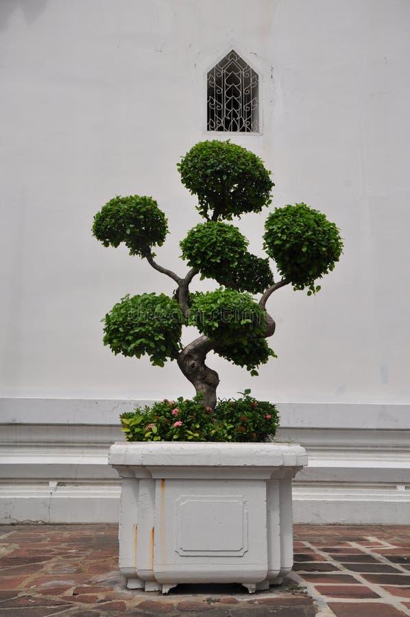 Topiary bonsaiboom in een groot witte planter royalty-vrije stock afbeeldingen