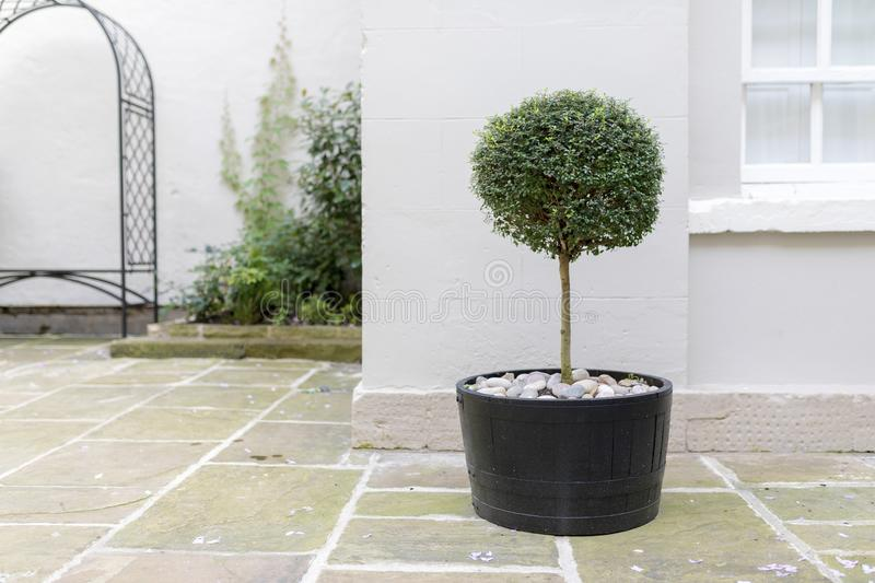 Topiary garden tree in a pot with decorative pebble base standing in an English stately home courtyard stock photos