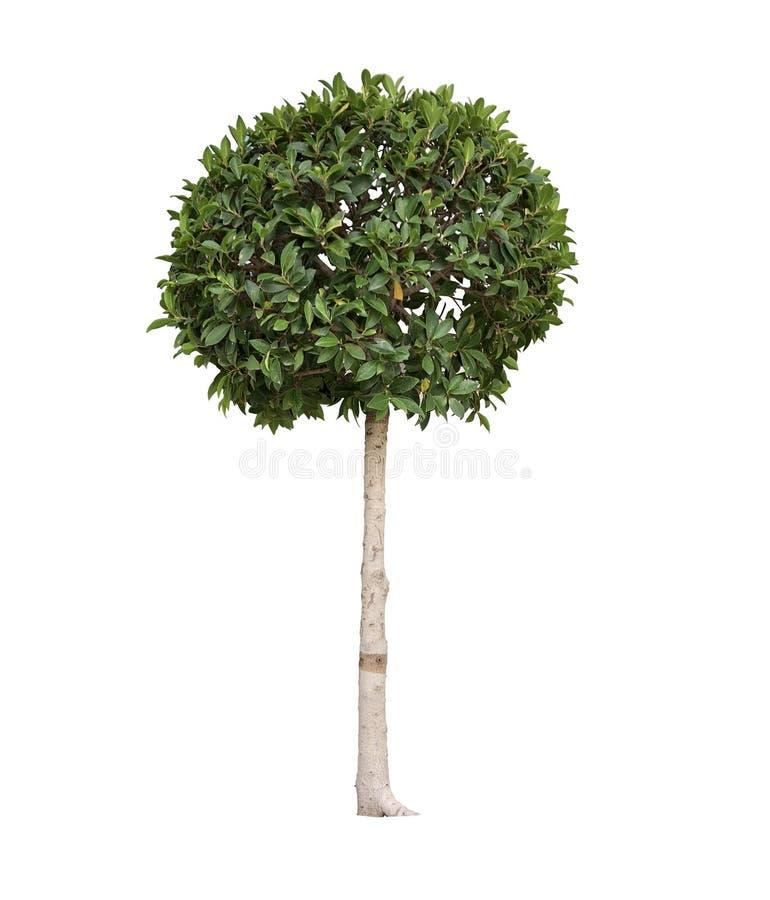 Topiarybäume im Topf lokalisiert auf weißem Hintergrund stockfoto