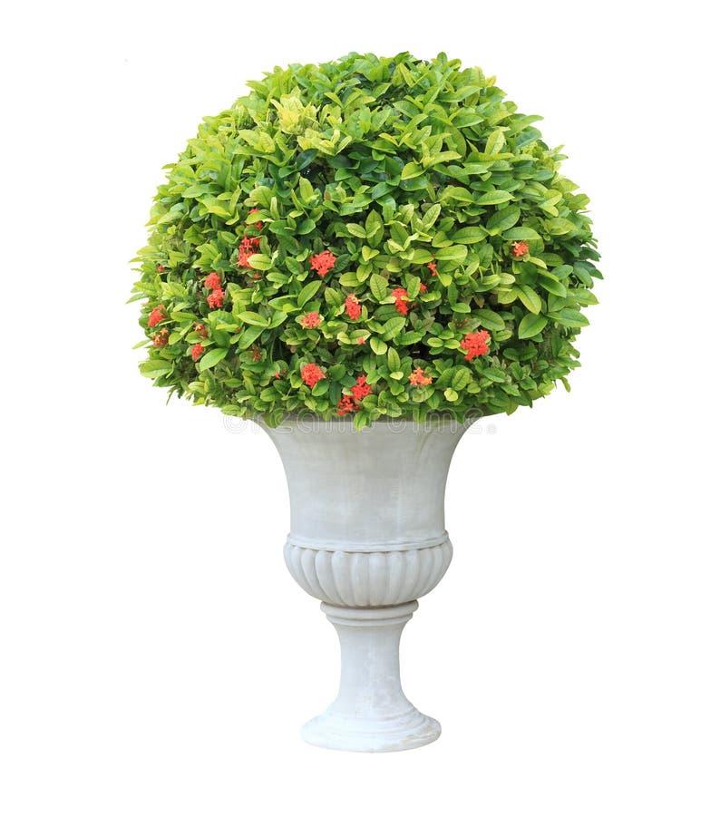 Topiaryväxt på den vita urnakrukan som isoleras på vit bakgrund royaltyfri foto