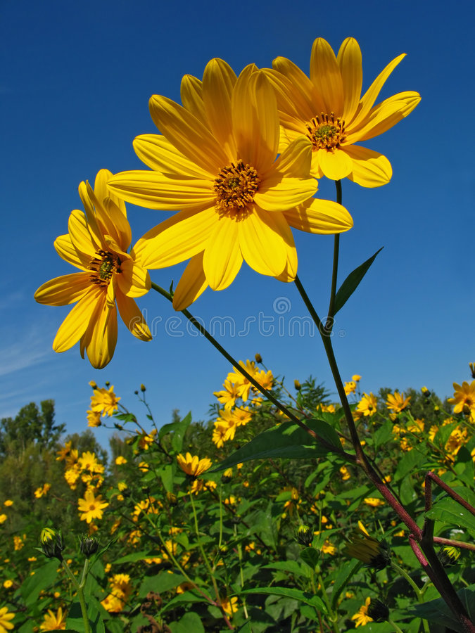 Topinambour. Yellow wildflowers against blue sky royalty free stock images