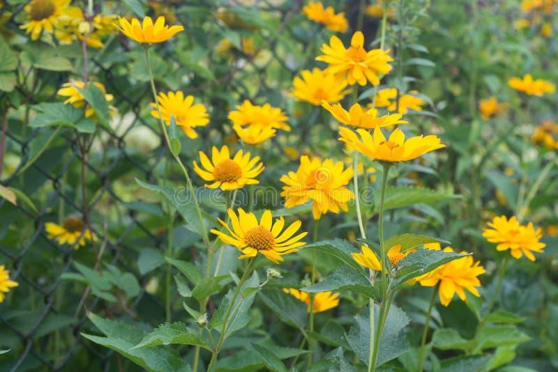 Topinambour - fleurs de tuberosus de helianthus photo stock
