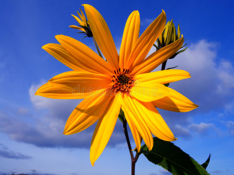 Topinambour flower. Against the blue sky stock photo
