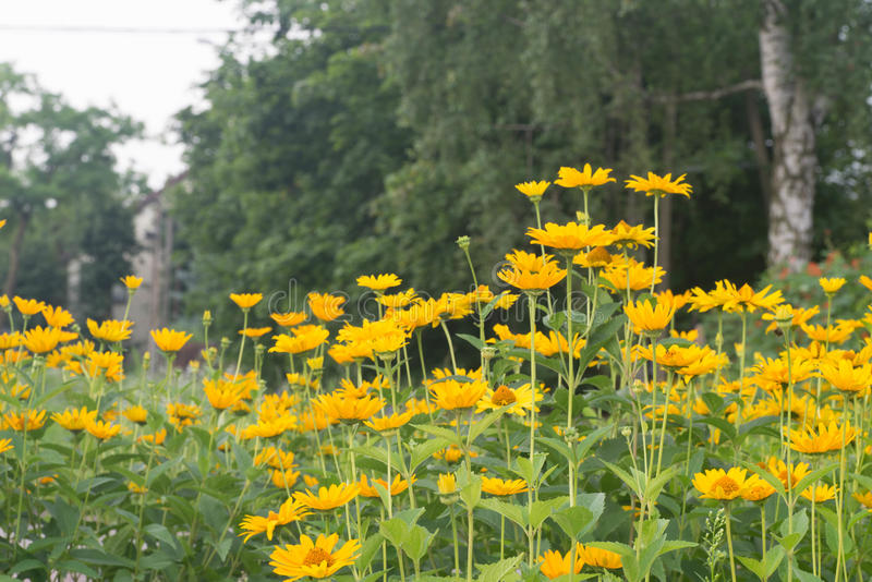 Topinambour flowers. Yellow topinambour flowers in cottage garden stock image