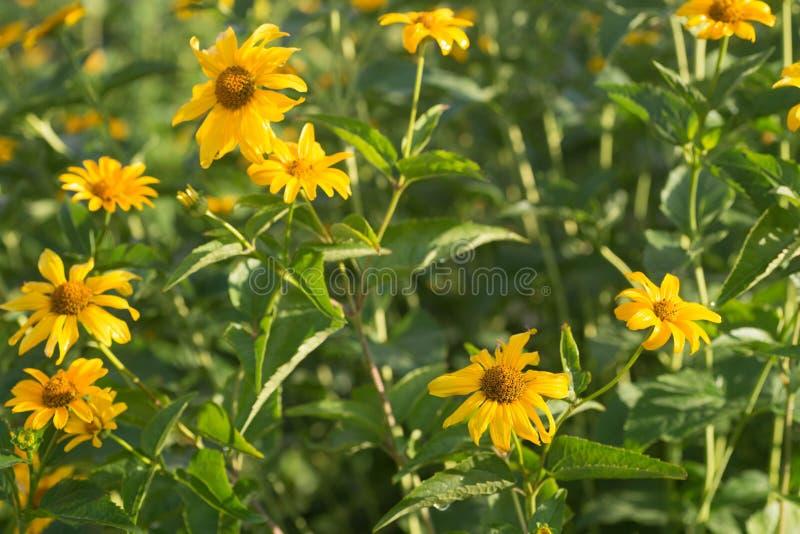 Topinambour Helianthus tuberosus yellow flowers royalty free stock images