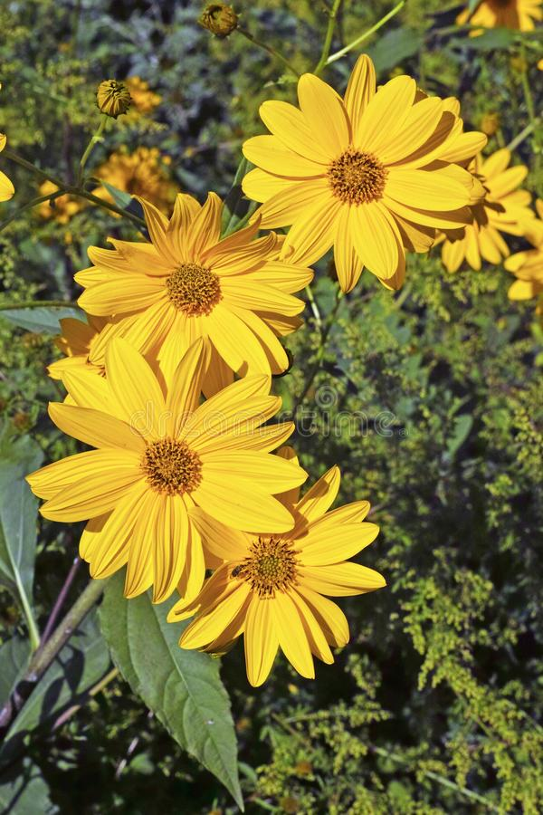 Topinambour plant in blooming. The yellow flower heads of topinambour plant stock photography
