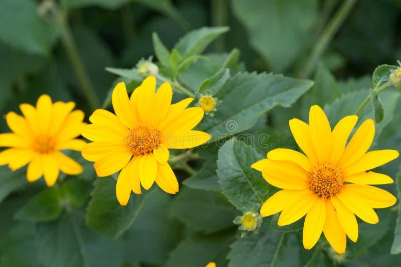 Topinambour, sunroot, fleurs jaunes de sunchoke photo libre de droits