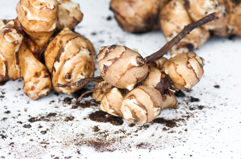Topinambour tubers. Bunches of topinambour fruit called Jerusalem artichoke or Jewish potato, too on white background with the remnants of clay, closeup stock photos
