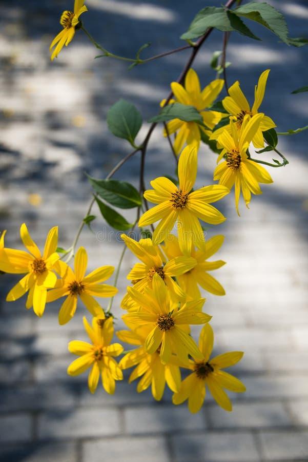 Topinambur, fiori gialli immagini stock libere da diritti