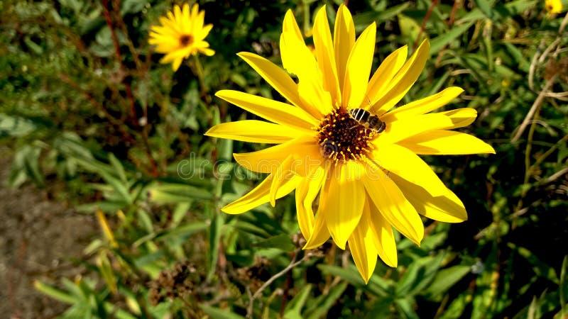 Topinambur Helianthus tuberosus und eine Biene stockfotos