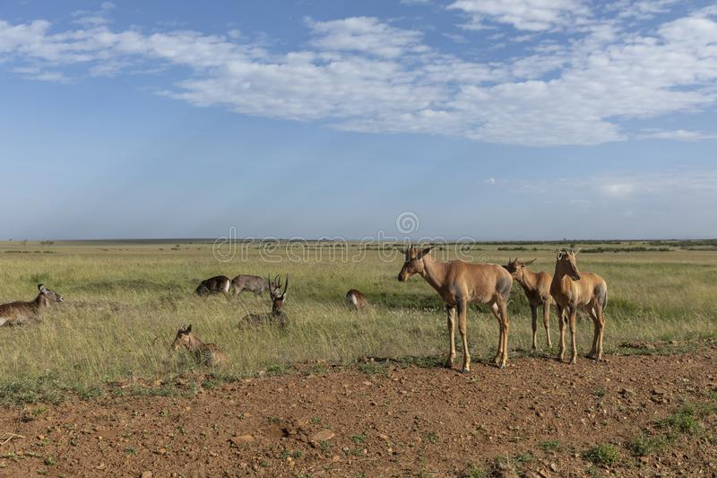 Topis jovenes en el Masai Mara Game Reserve, Kenia imagen de archivo