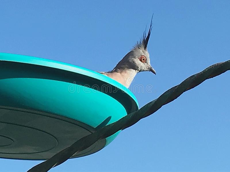Topknot crested pigeons in feeder. Topknot crested pigeons in high backyard bird feeder on sunny day outdoors stock images