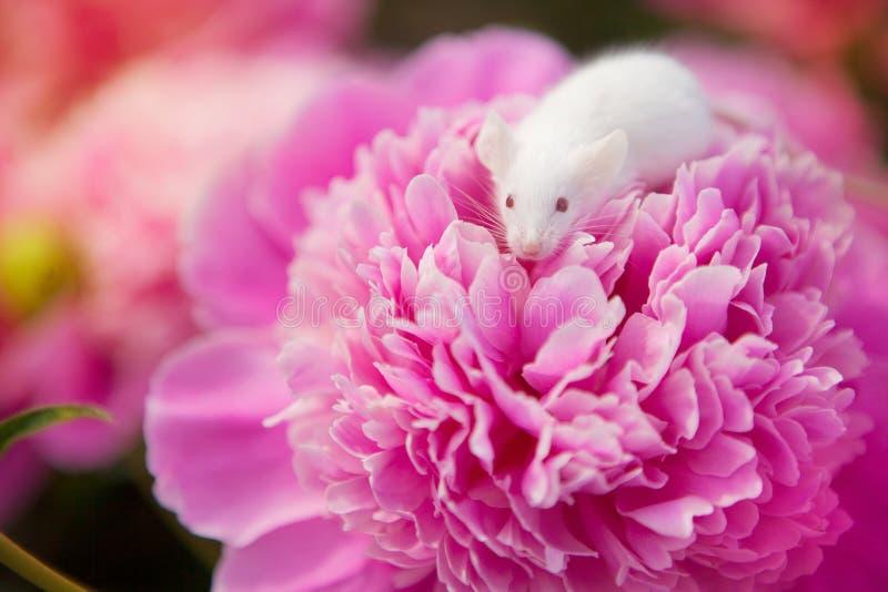 Topo bianco che si siede su un fiore rosa del pione immagine stock libera da diritti