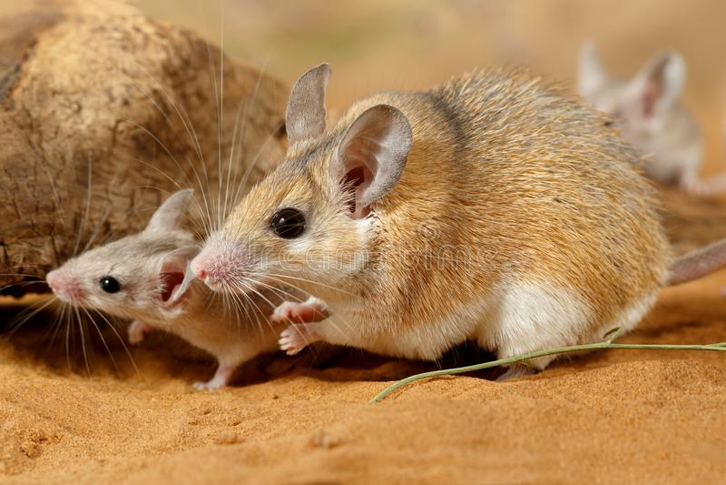 Topo coperto di spine femminile del primo piano e piccolo topo che si nasconde nell'ambito della smagliatura fotografia stock
