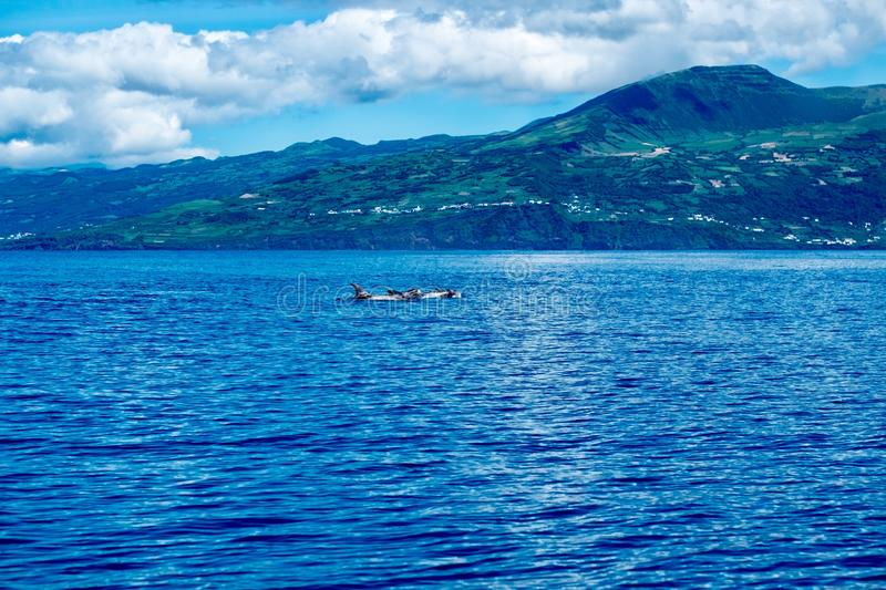 A pod of Risso`s dolphins in front of Topo volcano stock photography
