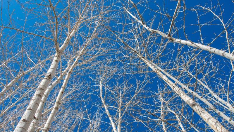 Topolowi drzewa na niebieskiego nieba tle obraz stock