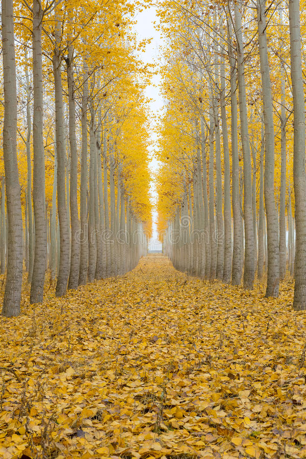 Topolowy Drzewnego gospodarstwa rolnego Jeden Mgłowy ranek w sezonie jesiennym zdjęcia stock