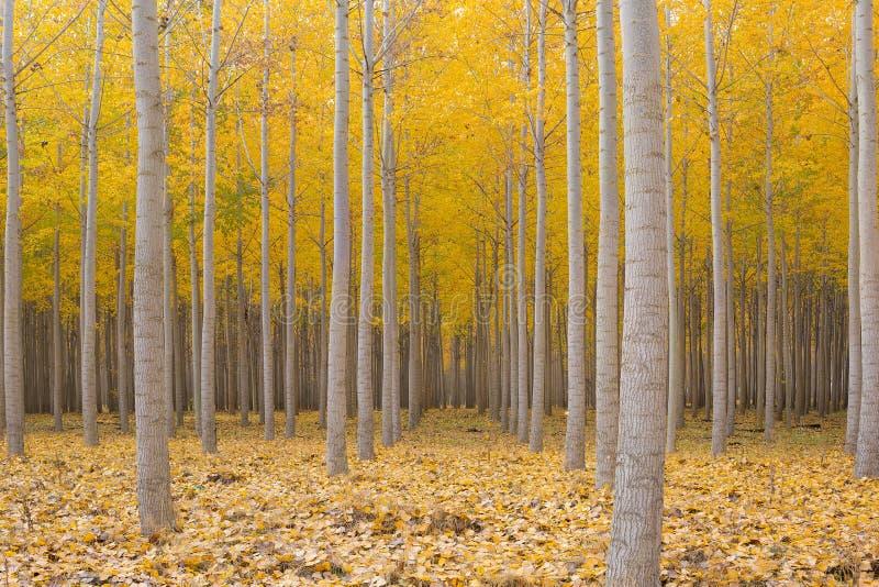 Topolowy Drzewny gospodarstwo rolne w sezonie jesiennym zdjęcia stock