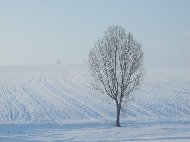 Topolowy drzewo fotografia royalty free